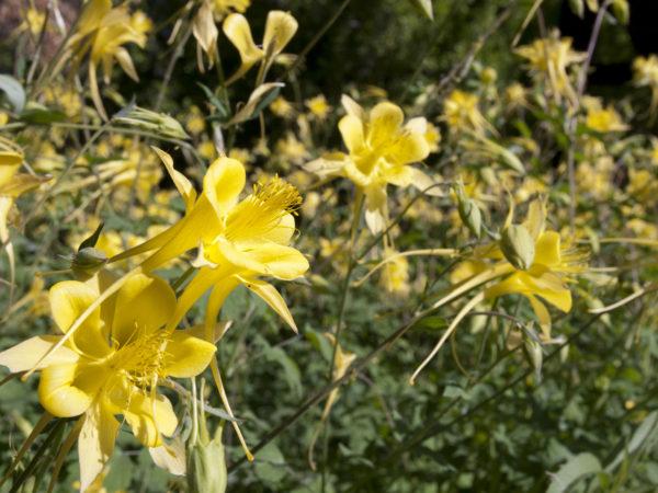 Larrea tridentata or creosote bush.  Closeup of bright yellow blossoms.  Photo taken at Boyce Thompson Arboretum in Arizona.