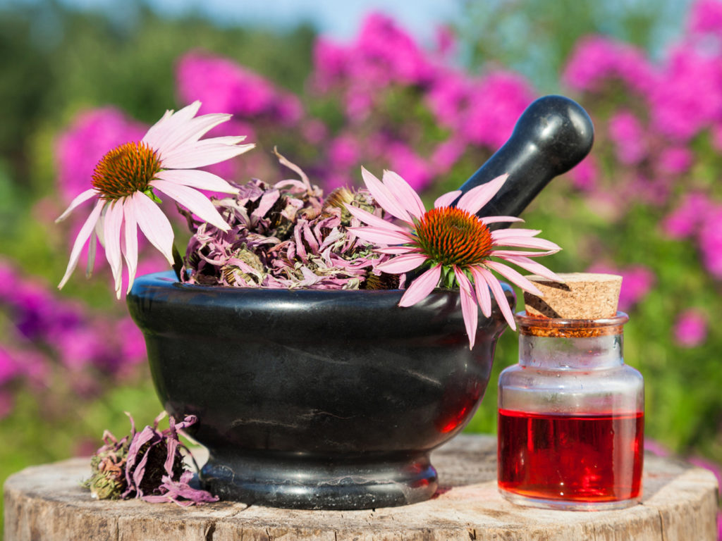 Tincture of echinacea is an effective means of increasing immunity
