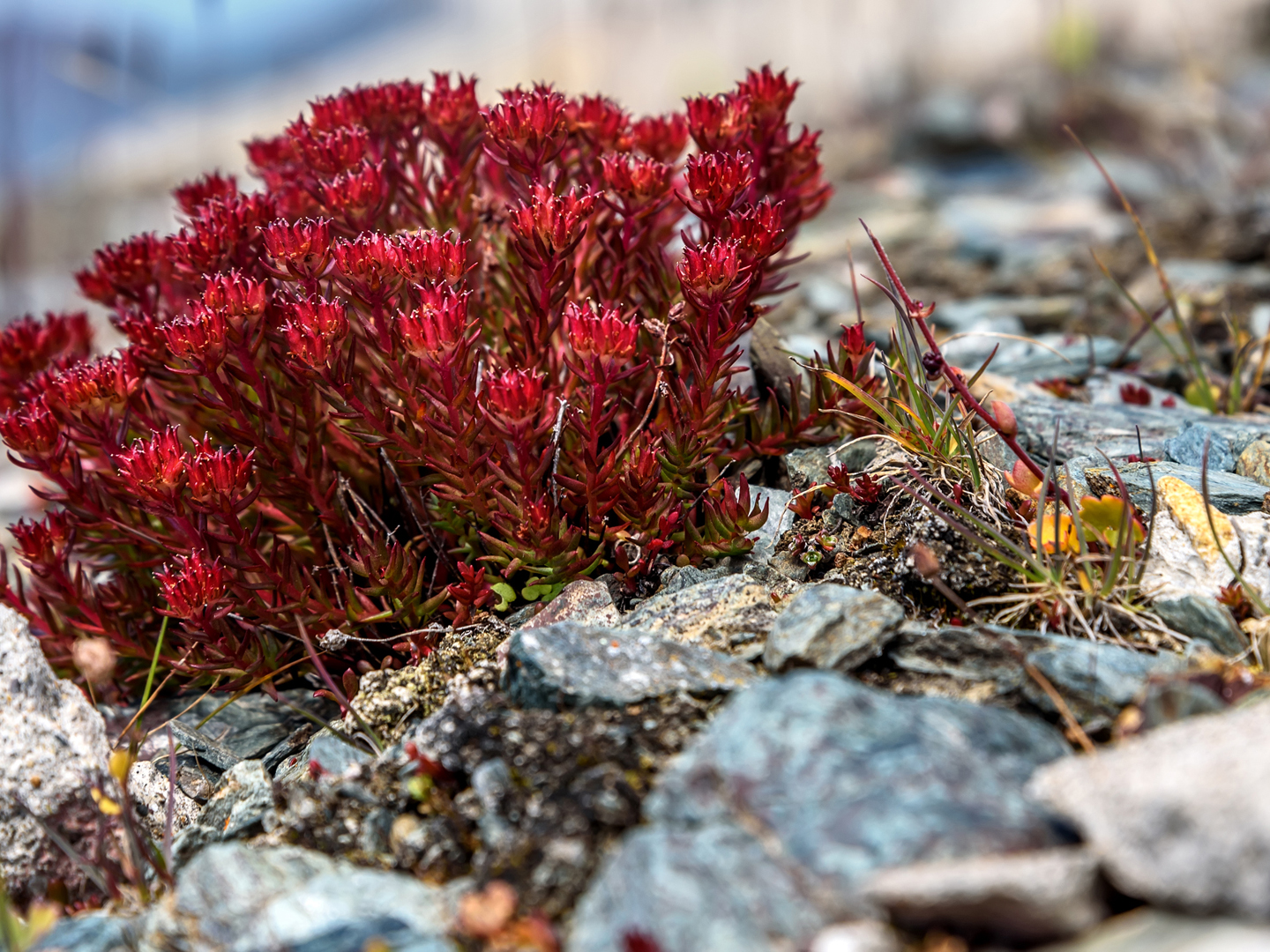 Image result for Rhodiola Rosea Extract