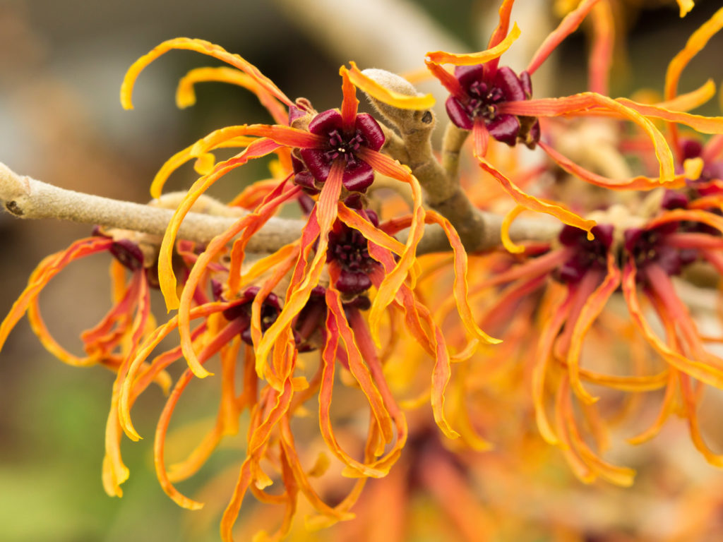 Top Ten Uses For Witch Hazel | Personal Care | Andrew Weil, M D