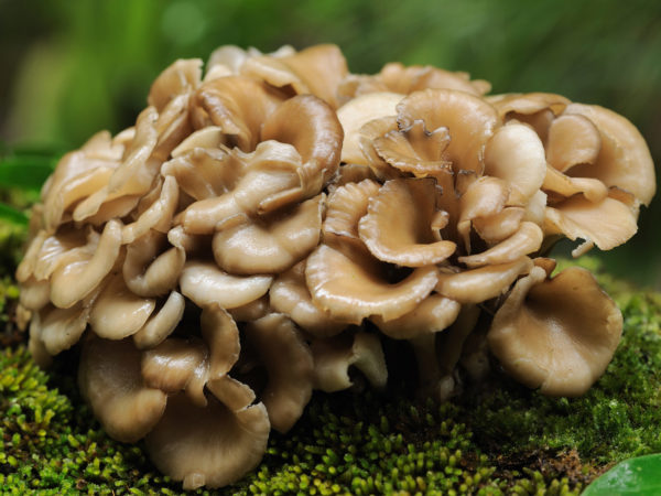 health-wellness_health-centers_aging-gracefullymushrooms-to-prevent-dementia_20090976