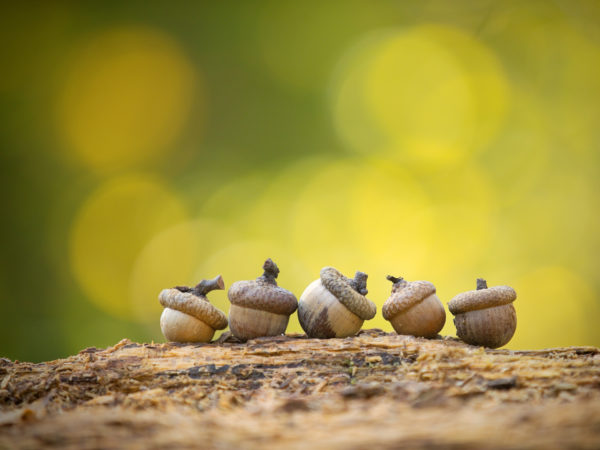 Five little acorns in nature. Autumn balanced living