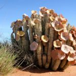 Can Hoodia Help You Lose Weight