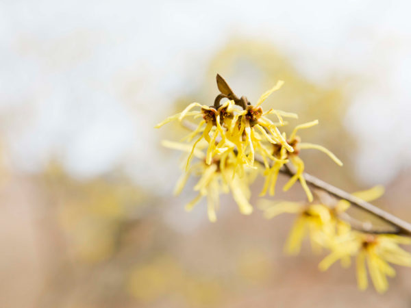 4 Ways To Use Witch Hazel