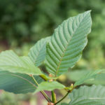 Why Not Kratom? | Addiction | Andrew Weil, M.D.
