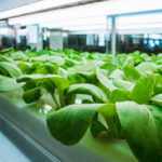 hydroponic organic vegetable