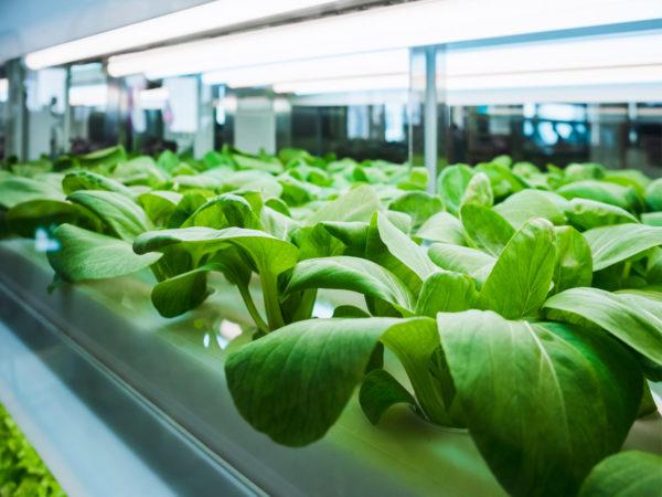 hydroponic organic vegetable