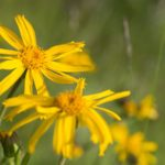 Feeling Achy? Try Arnica, A Natural Remedy