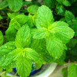 Find Out What You Are Missing Out On By Not Eating Mint