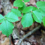 6 Ways To Treat Poison Ivy