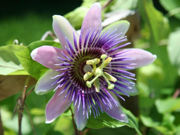 passion flower for stress