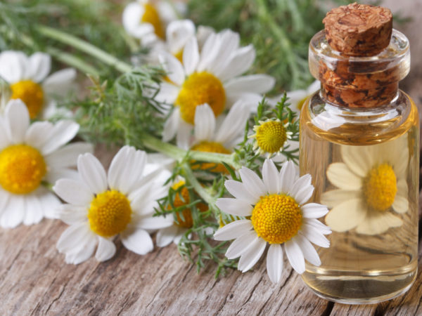 Chamomile Oil | Guide To Essential Oils | Andrew Weil, M.D