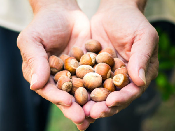 Hazelnuts For Midlife Health | Weekly Bulletins | Andrew Weil M.D.
