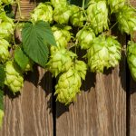 Hops For Hot Flashes | Weekly Bulletin | Andrew Weil, M.D.
